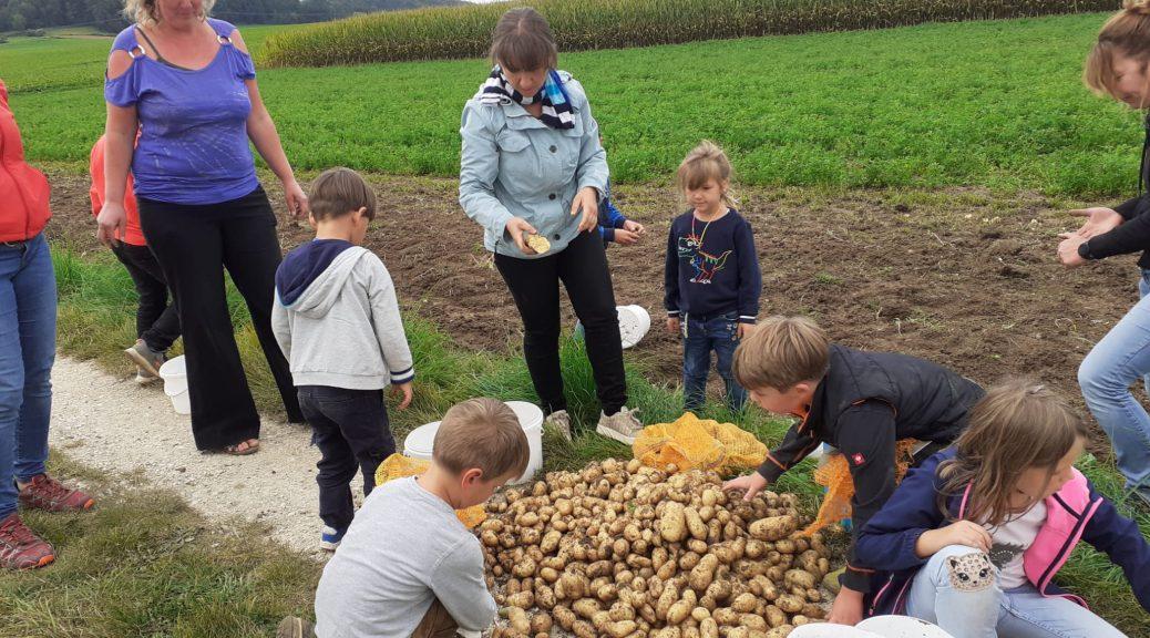 Kartoffelernte mit den Kindern